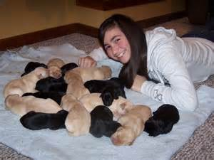 Eastin and labrador retriever puppies for sale