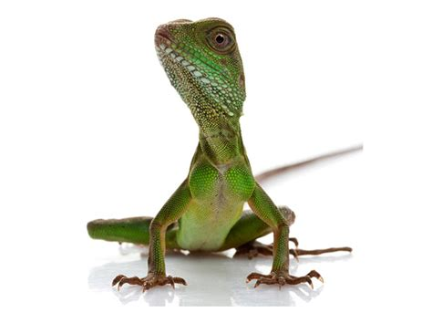 how many times do you feed a how many times do you feed a lizard wiring diagrams repair wiring scheme