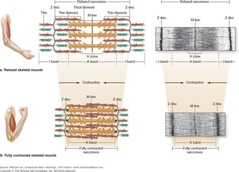 sarcomere diagram quiz wiring diagrams wiring diagrams