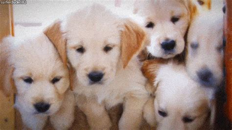 golden retriever puppy gif the cutest gifs