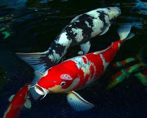 gambar tato ikan koi gambar ikan koi