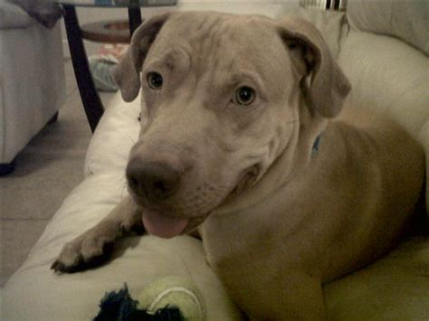 why do dogs lay on their back pitbulls are the greatest dogs and here are some reasons why