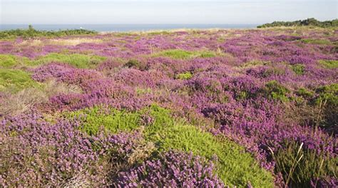 heavenly heathers provide an ocean of purple this winter daily mail online