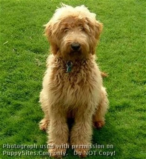 golden retriever poodle mix adoption 8 best images about dogs on poodles miniature and in
