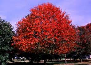 black tupelo gum tree tree pictures information and facts