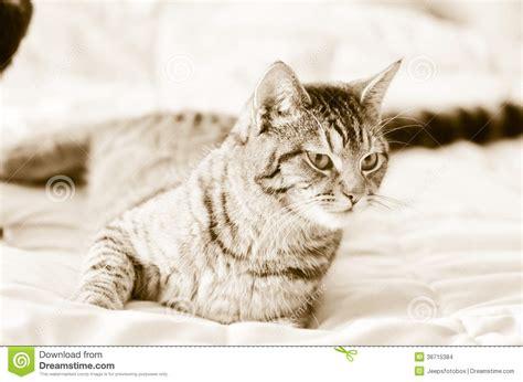 katze pinkelt auf bett graue katze der getigerten katze des sepia auf bett