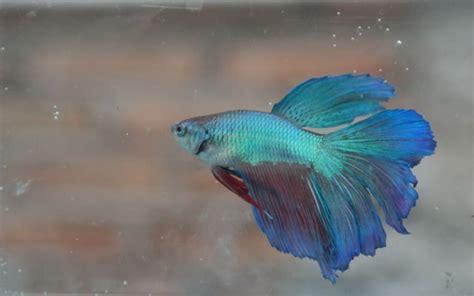 Pakan Ikan Cupang Yang Mahal ikan hias informasi perikanan cara memelihara cara
