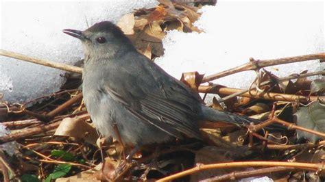 common backyard birds graycatbird portpenn 2 15 10 derekstoner 1024x729 1260x708 jpg