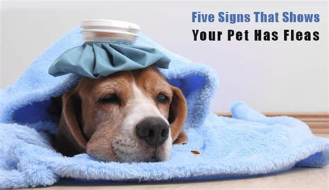 has fleas five signs that shows your has fleas budgetpetworld