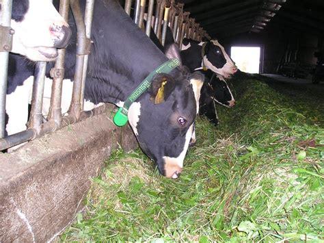 alimentazione bovini da latte alimentazione computerizzata per bovini prosagri