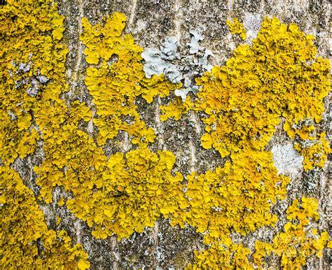 Jig006 To Survive Nature Yellow lichen
