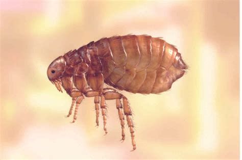 fleas pictures cat flea pictures actual size pictures to pin on pinsdaddy