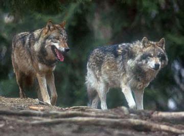imagenes de lobos taringa megapost de imagenes de lobos algunas no reales taringa