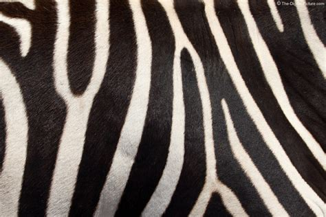 pattern zebra real zebra pattern