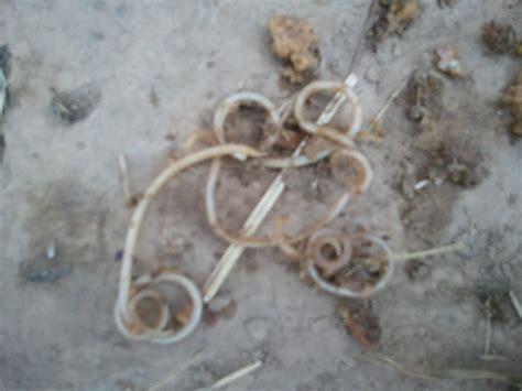 pin worms in dogs pin worms in dogs stool grosir baju surabaya