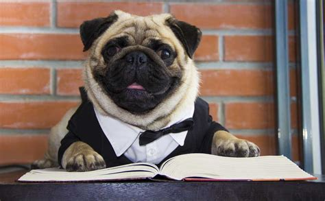 pugs in china history of pugs pugs purely pugs