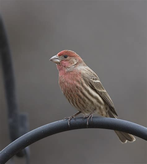 house finches maryland biodiversity project house finch haemorhous