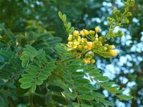 manfaat daun johar  kesehatan   tips