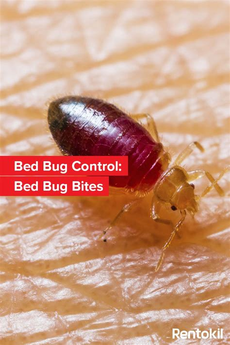 how to tell bed bug bites from other bites how to identify bed bug bites 28 images bed bug bite