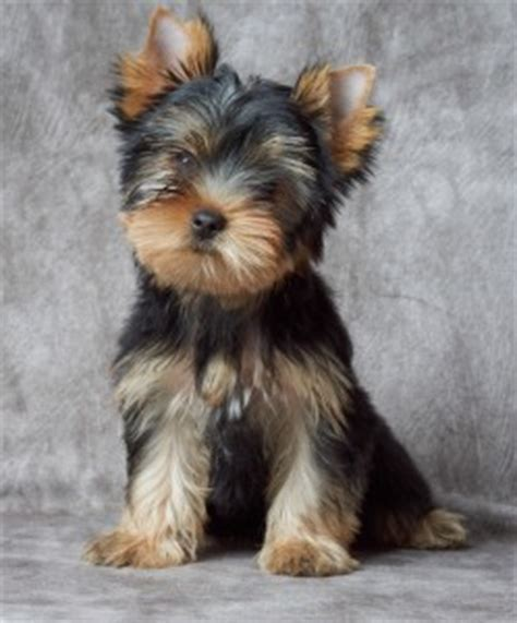 are yorkie poos hypoallergenic hypoallergenic dogs terriers or yorkies