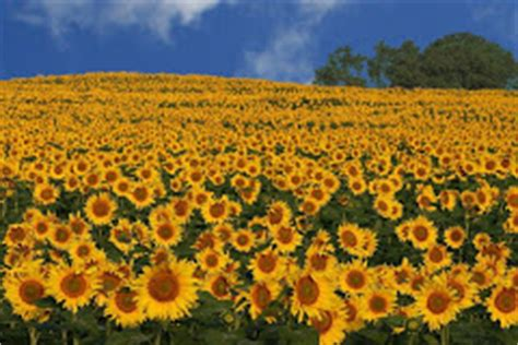 sunflower field in kansas sunflower field ted duboise the farmer s wife