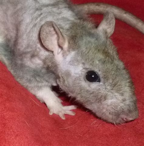 Patchwork Rat - coat baby pet rats for sale geelong