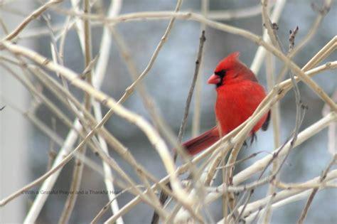 cardinal in winter grateful prayer thankful heart