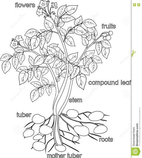 Beschriftung Kartoffelpflanze by Farbton Mit Kartoffelpflanze Vektor Abbildung