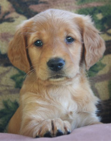 golden retriever breeders in minnesota thunderstruck retrievers golden retriever puppies in minnesota golden retriever