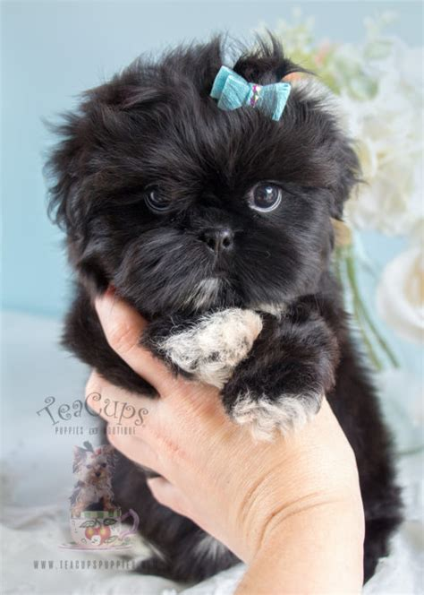 shih tzu delivering puppies imperial shih tzu puppies for sale by teacups puppies boutique teacups puppies