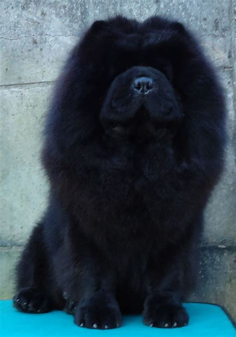 black chow chow puppies black chow chow puppies www pixshark images galleries with a bite