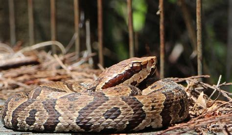 Images Of Cottonmouth Snakes cottonmouth snakes facts venom habitat information