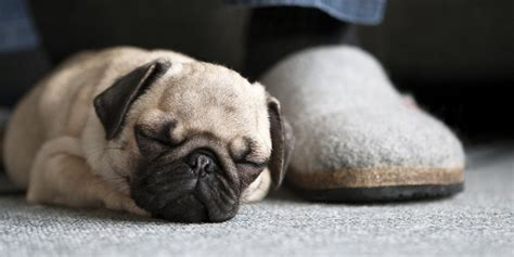 how much are pugs in canada five things pugs can teach us about getting enough sleep huffpost uk