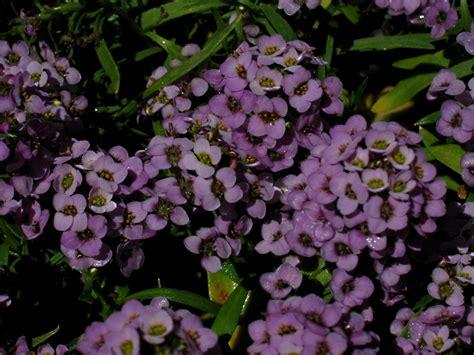fragrant plant easy fragrant plants