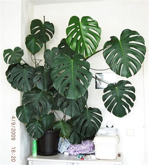 monstera care fensterblatt monstera deliciosa for the home fireplaces spikes and o connell