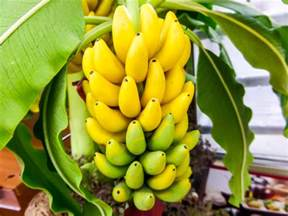 bananas on tree banana tree banana farming a lucrative agri business