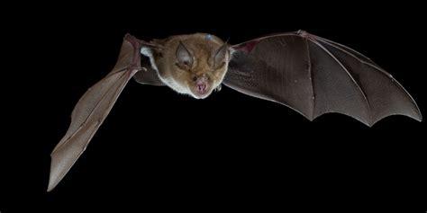le pipistrelo il sonar dei pipistrelli ecco come funziona