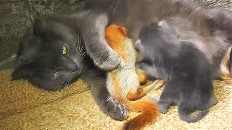 mama cat adopts  baby squirrels  raises     kittens  edition
