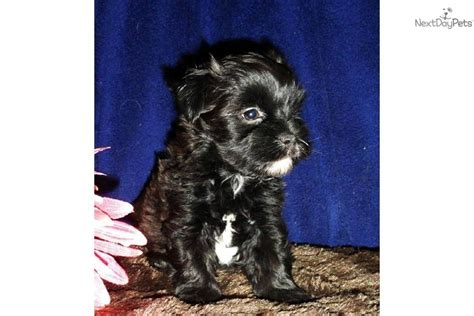 shih tzu and yorkie poo mix yorkie poo for sale in ontario breeds picture