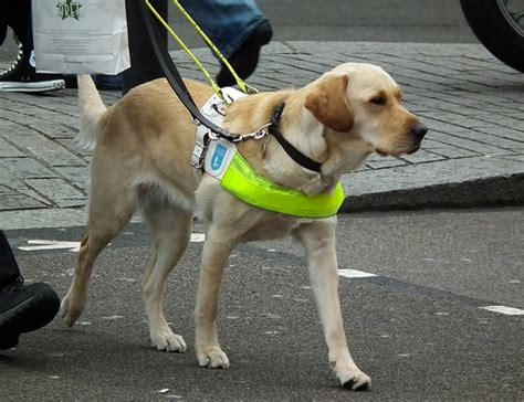 guide dogs guide flickr photo