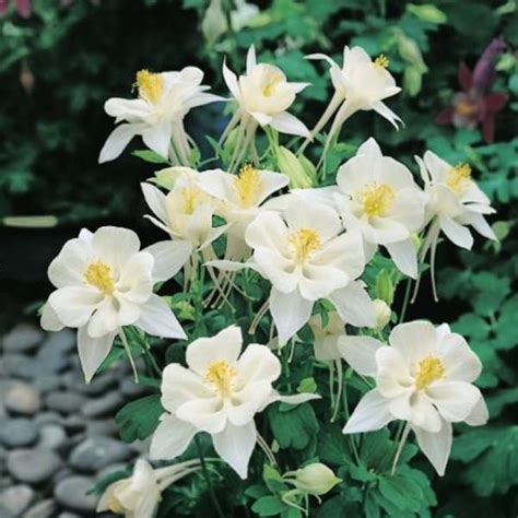 Origami Columbine - columbine seeds 33 columbines perennial flower seeds