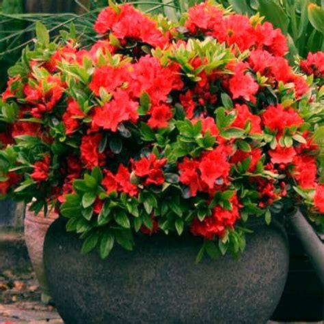 red azalea japanese evergreen shrub hardy garden plant