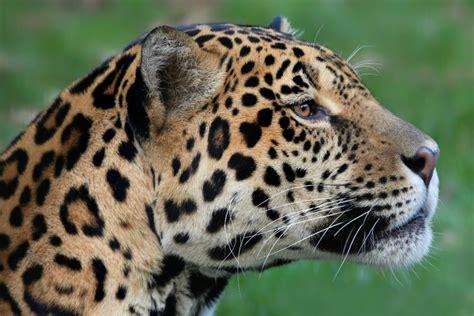 imagenes de jaguar hembra impulsan la estrategia nacional de jaguar para proteger la