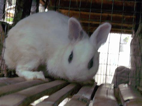 Harga Pelet Kelinci Anggora kelinci hotot kelinci perkelincian rabbit rabbitry