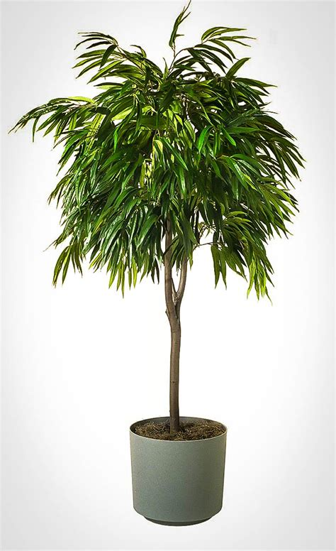 long leaf ficus tree  tree center