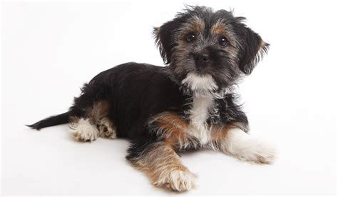 terrier mix puppies terrier mix the temperament the look and some popular exles