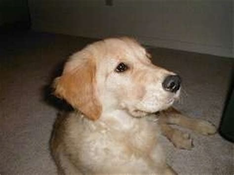 why do golden retrievers noses turn pink golden retriever breed pictures 2