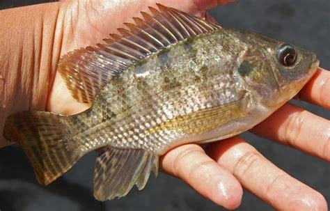 Bibit Ikan Koi Lumajang file oreo nilo 071011 0507 f jtg jpg wikimedia commons