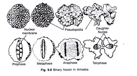 diagram of binary fission in amoeba the structure and cycle of amoeba with diagram
