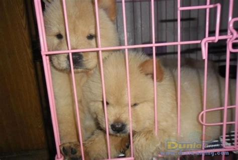 Jual Anakan Chow Chow Best Quality dunia anjing jual anjing chow chow anakan chow chow bloodline top quality